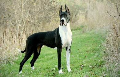 Great Dane Dog Information