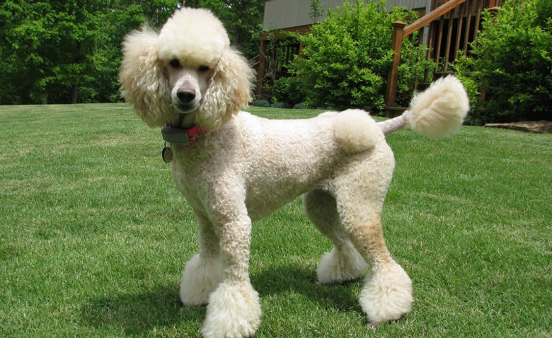 Poodle: Toy Dog