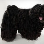 Puli Dog Breed Information