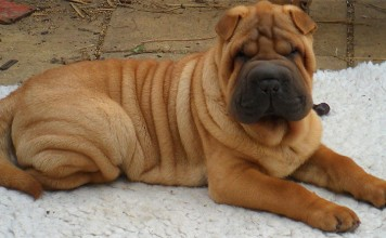 Shar-Pei Dog Breed Picture