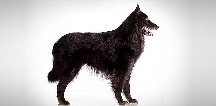 Belgian Shepherd Dogs Information