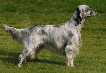 English Setter Dog Breed Picture