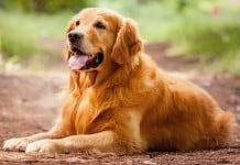 Golden Retriever Dog Picture