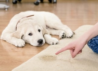 How to Get Dog Urine (Pee) Smell Out of Carpets