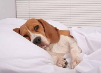 Can a Dog Recover from Kidney Failure