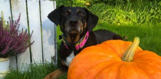 Can Dog's Eat Pumpkin Seeds